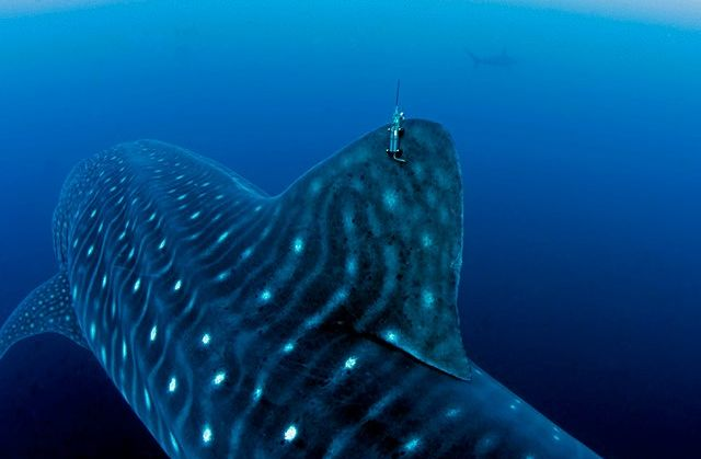 Work continues for the conservation of Whale Sharks in the Galapagos Islands after a decade since the creation of the project