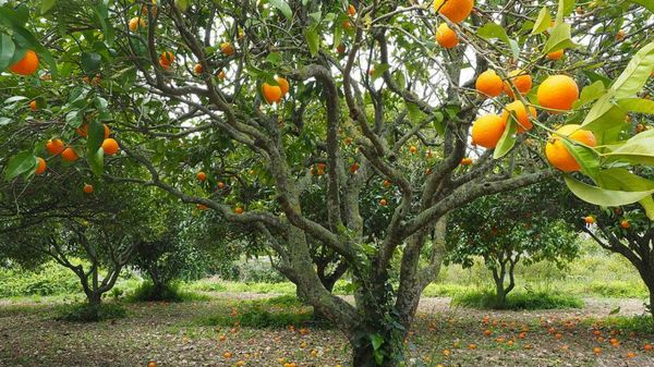 Israeli Startup Putting the Squeeze on Citrus Disease with AI
