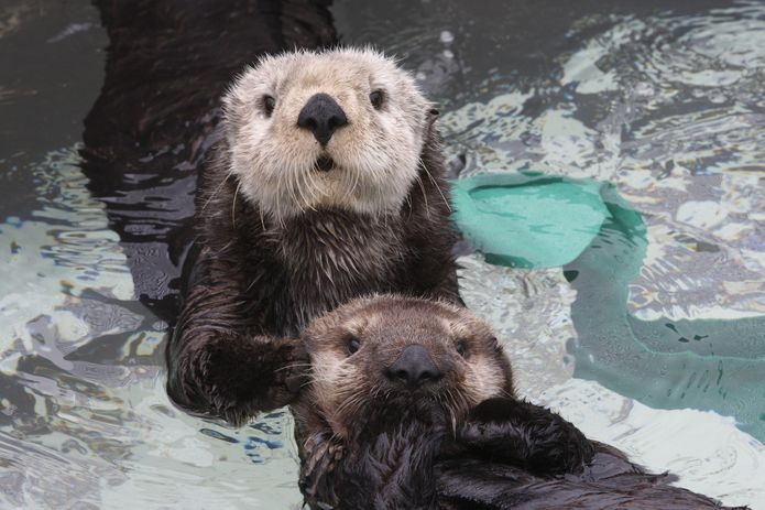 Southern sea otter pup with surrogate, at Monterey Bay Aquarium.© Monterey Bay Aquarium