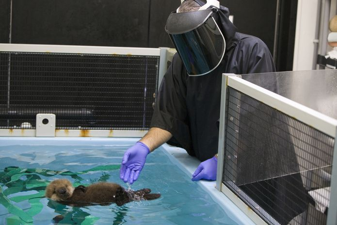 A southern sea otter pup rescued by the Sea Otter Program at the Monterey Bay Aquarium. ©Monterey Bay Aquarium