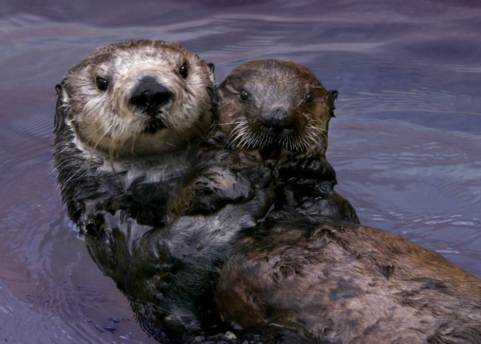 A southern sea otter acting as surrogate mom to an orphaned pup on exhibit at Monterey Bay Aquarium. © Monterey Bay Aquarium