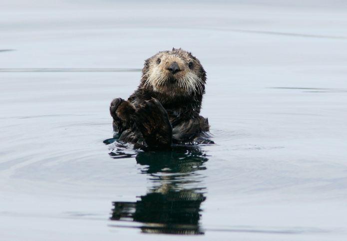 A wild southern sea otter© Monterey Bay Aquarium