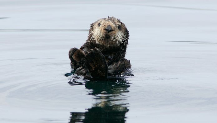 """Sea Otter Survey Encouraging, but Comes Up Short of the """"Perfect Story"""""""