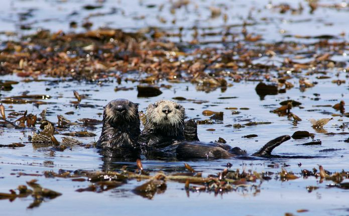 Wild southern sea otter mother and pup © Monterey Bay Aquarium