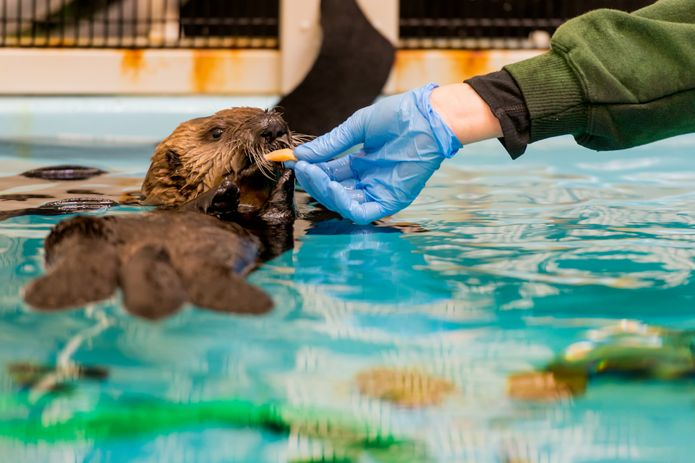 Southern sea otter pup 719 behind the scenes with Sea Otter Program staff. ©Monterey Bay Aquarium