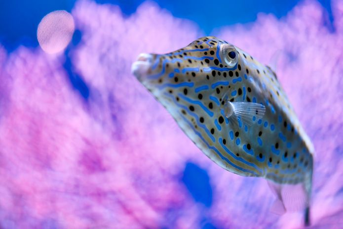 A scrawled filefish is featured in the '¡Viva Baja! Life on the Edge' special exhibit. ©Monterey Bay Aquarium
