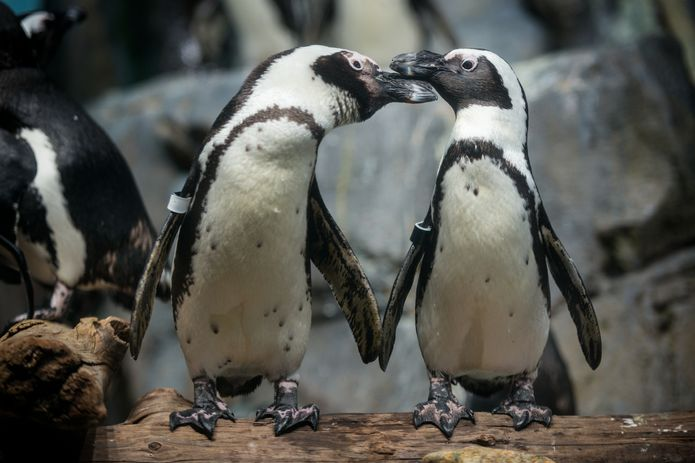 African penguins on exhibit in the Splash Zone. ©Monterey Bay Aquarium