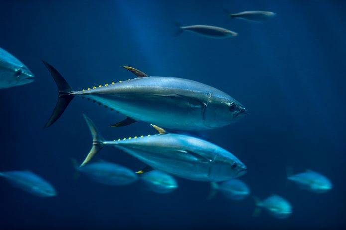 Yellowfin tuna swimming in the Open Sea exhibit. ©Monterey Bay Aquarium