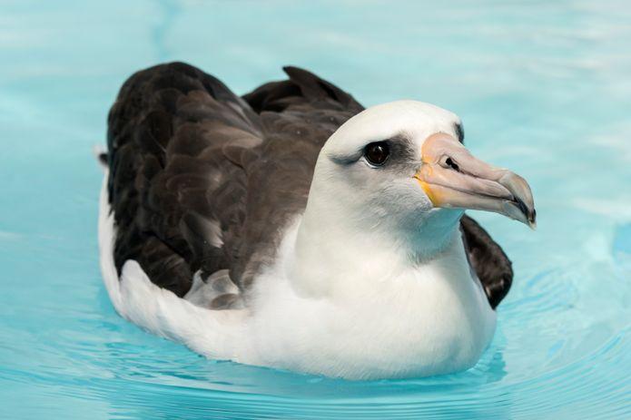 Rescued Laysan albatross Makana. ©Monterey Bay Aquarium