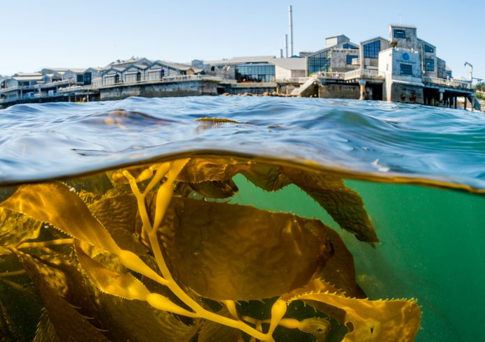 The exterior of the Monterey Bay Aquarium seen from the wild kelp forests in Monterey Bay. ©Monterey Bay Aquarium