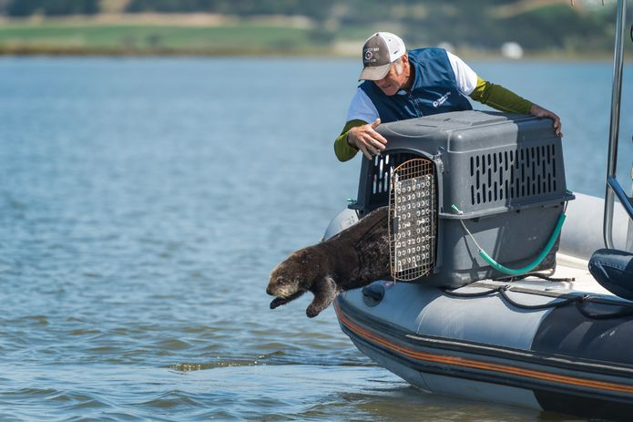 The Monterey Bay Aquarium's Sea Otter Research and Conservation staff during the preparation and release process of surrogate-reared Otter 696. ©Monterey Bay Aquarium