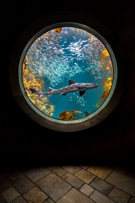 A leopard shark swimming through a school of Northern anchovies in the Kelp Forest exhibit. ©Monterey Bay Aquarium