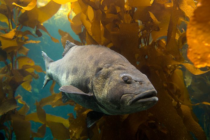 A giant sea bass in the Kelp Forest exhibit. ©Monterey Bay Aquarium