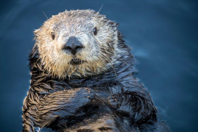 Southern sea otter Abby in the Sea Otter exhibit.©Monterey Bay Aquarium