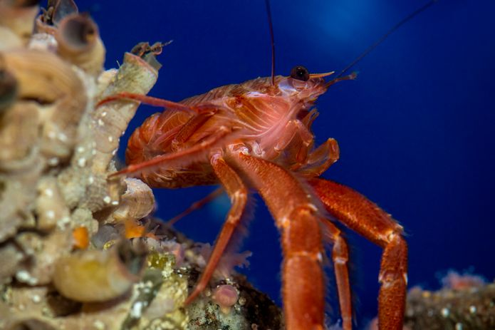 A pelagic red crab, also known as a tuna crab, near the Monterey Bay Habitats exhibit. ©Monterey Bay Aquarium