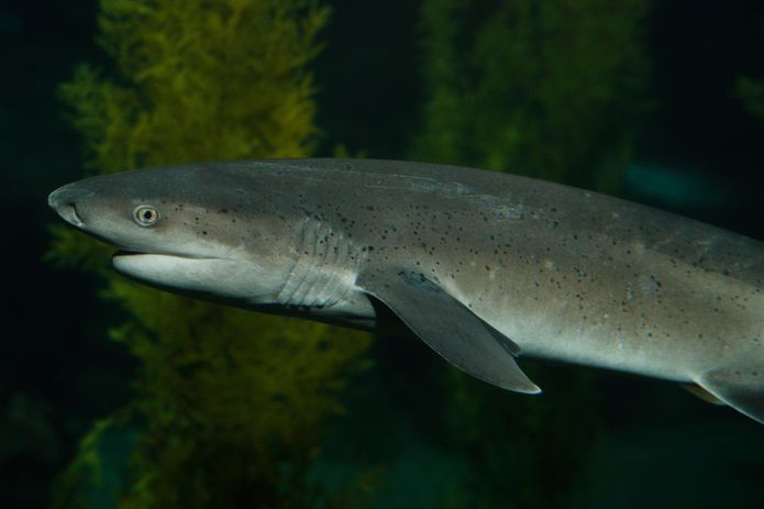 A sevengill shark in the Monterey Bay Habitats exhibit. ©Monterey Bay Aquarium