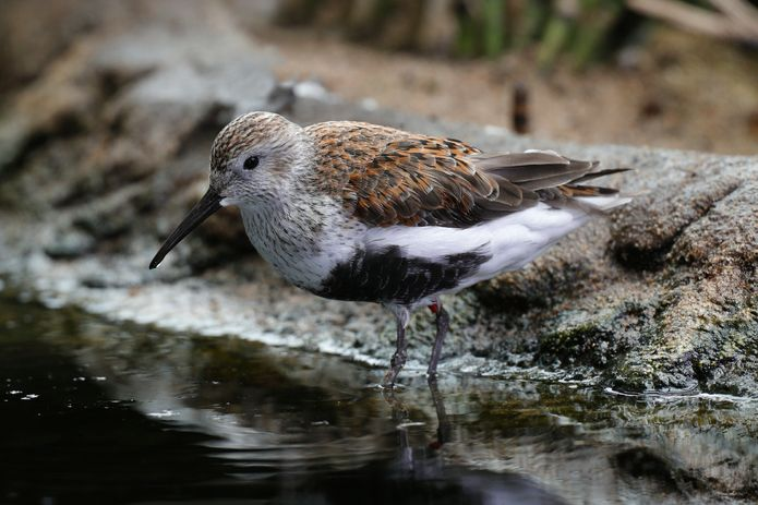 A dunlin with summer plumage in the Aviary exhibit. ©Monterey Bay Aquarium