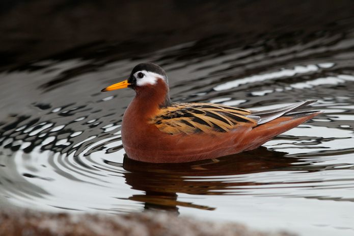 A male red phalarope with summer plumage in the Aviary exhibit. ©Monterey Bay Aquarium