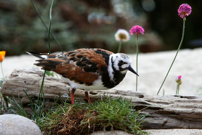A male ruddy turnstone with breeding plumage in the Aviary exhibit.