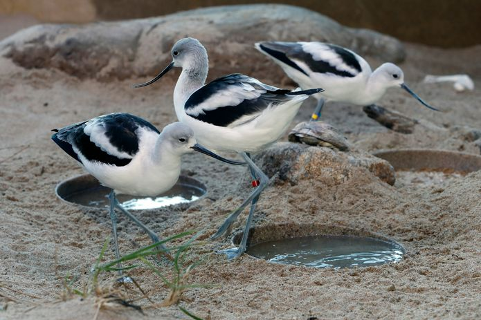 American avocets in the Aviary exhibit. ©Monterey Bay Aquarium