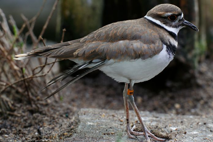A killdeer in the Aviary exhibit. ©Monterey Bay Aquarium
