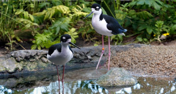 Two black-necked stilts in the Aviary exhibit. ©Monterey Bay Aquarium