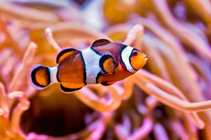 An anemonefish, also called a clownfish, in the Splash Zone exhibit. ©Monterey Bay Aquarium