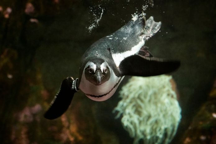 African penguin swimming in the Splash Zone exhibit. ©Monterey Bay Aquarium