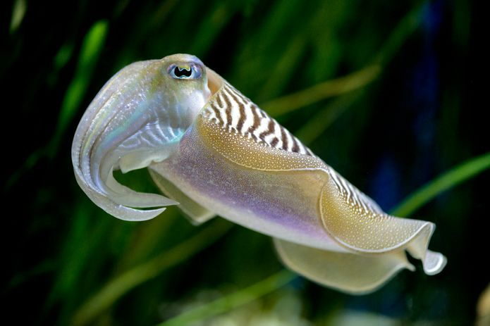 Common cuttlefish in the Tentacles exhibit. ©Monterey Bay Aquarium