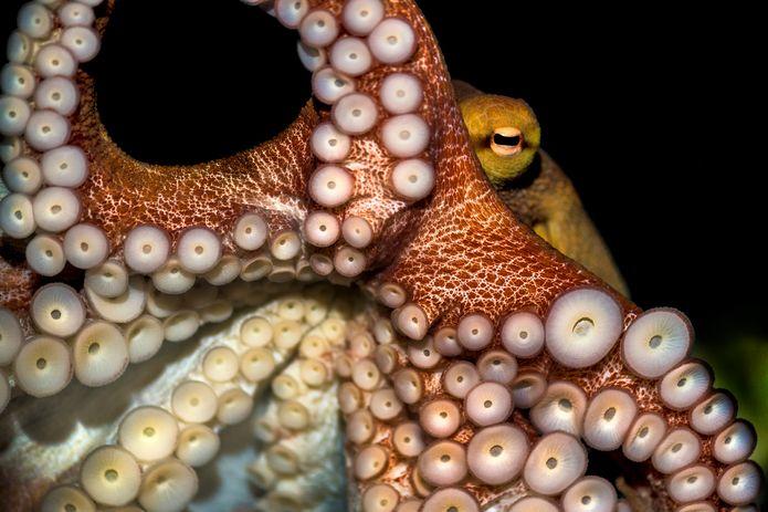 A common octopusin the Tentacles exhibit. ©Monterey Bay Aquarium