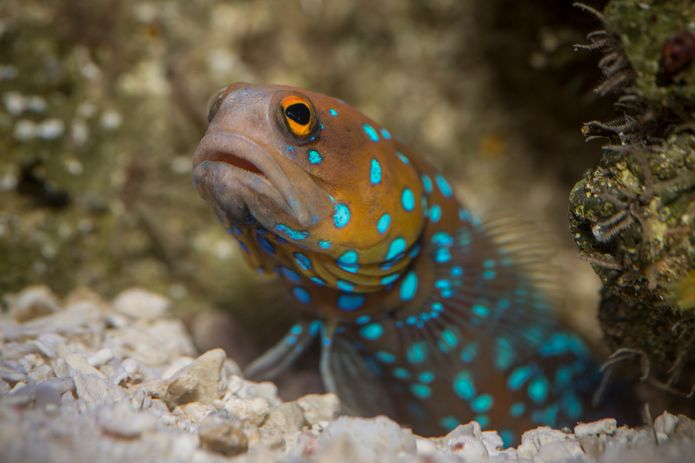 A bluespotted jawfish in the ¡Viva Baja! Life on the Edge exhibit. ©Monterey Bay Aquarium