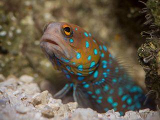 A bluespotted jawfishin the¡Viva Baja! Life on the Edgeexhibit.©Monterey Bay Aquarium