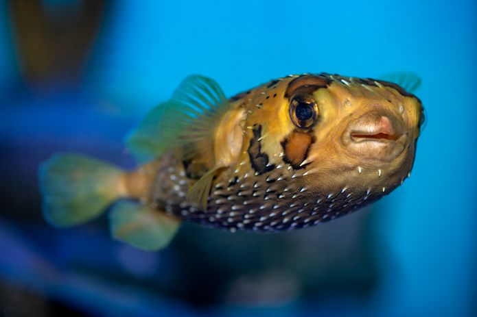 A balloonfish in the ¡Viva Baja! Life on the Edge exhibit. ©Monterey Bay Aquarium