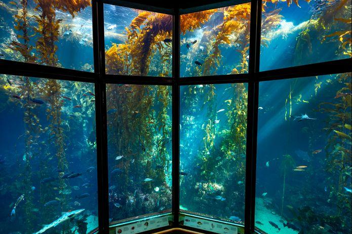 The Kelp Forest exhibit is one of the Monterey Bay Aquarium's signature exhibits. ©Monterey Bay Aquarium