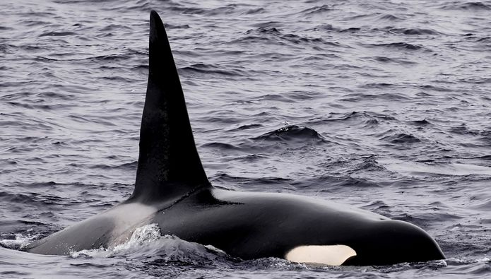 Study Finds White Sharks Flee Feeding Areas When Orcas Present