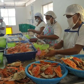 Women workers of blue swimming crab meat picking station in Bantayan, Cebu.