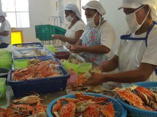 Women workers of blue swimming crabmeat picking station in Bantayan, Cebu.