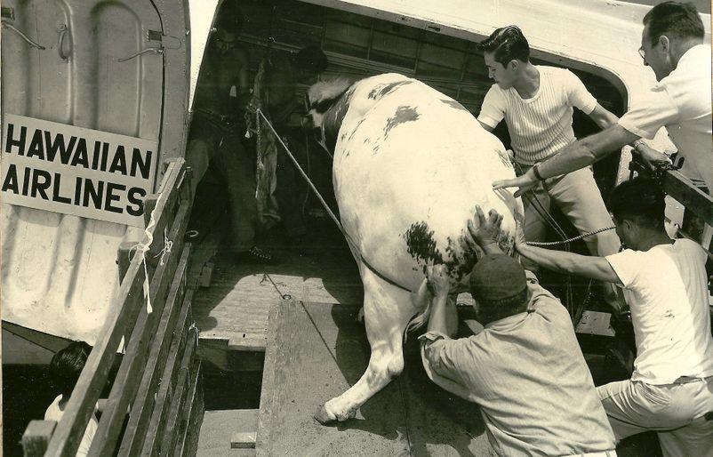 1954 Cows