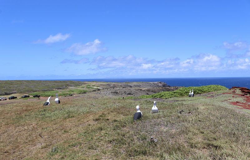 Native bird socialization area - staged albatross 2