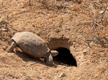 Desert Tortoise Wins as SCE Goes the Extra Mile to Protect Endangered Species