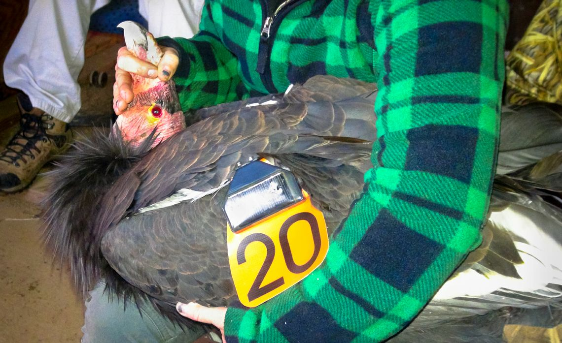 California Condor Recovery Program