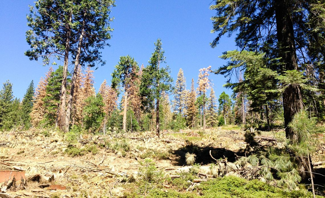 Drought and Beetle Infestation in Sierras