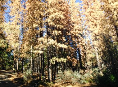 Millions of Dead Trees in the Sierras Pose Unprecedented Fire Safety Hazard