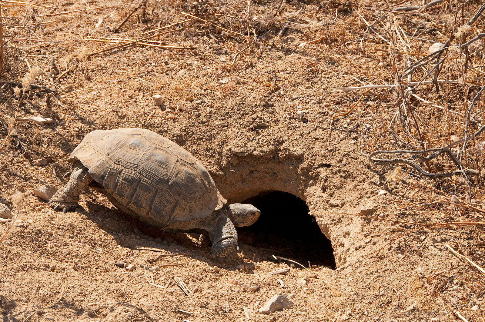Tortoise protection on native lands