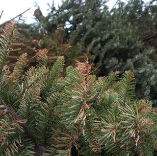 Reciclaje de árboles de Navidad programado para enero del 2017