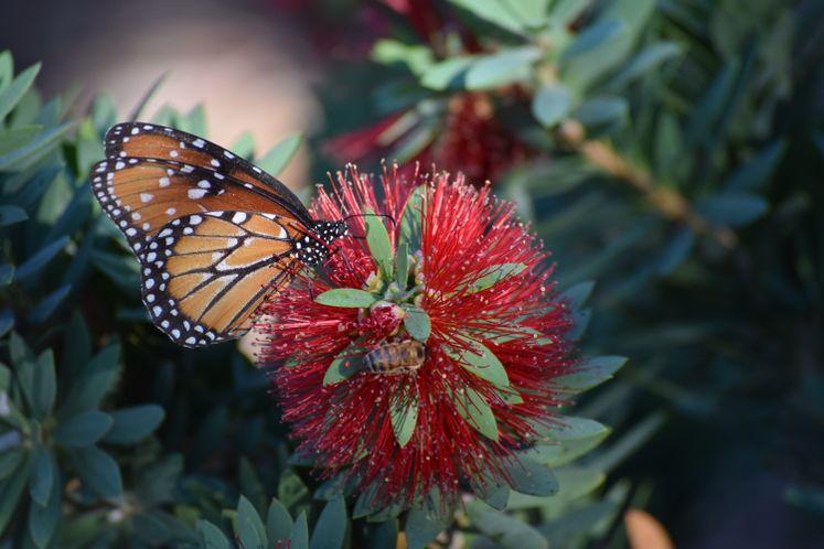 Monarchs Arrive at Xeriscape / December