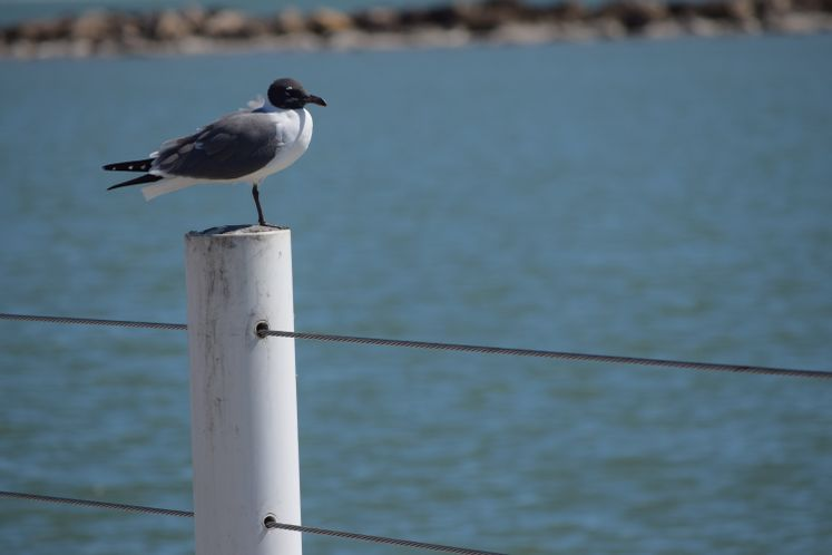 Seagull at the Bay