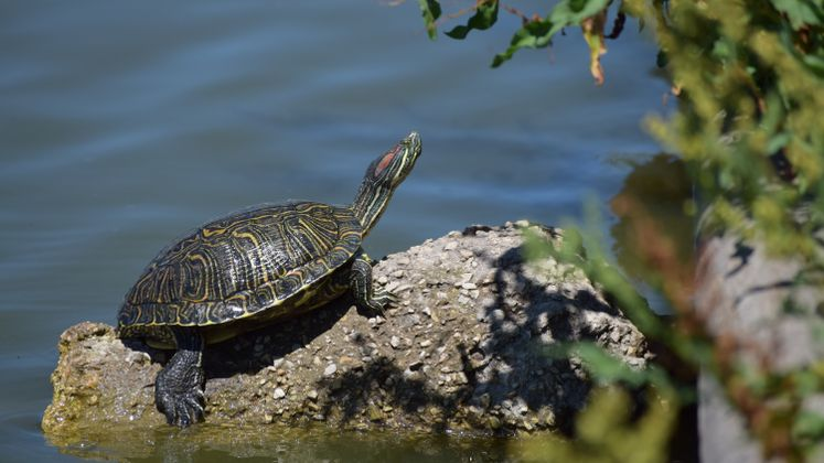 Turtle by the Lake at West Guth Park