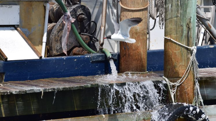 Seagull at CC Marina