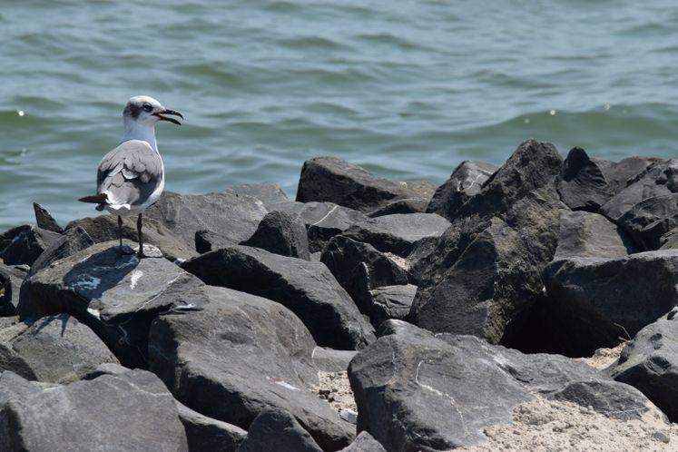 Seagull at CC Bay